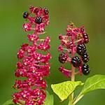 Phytolacca sp. - Karmozijnbes