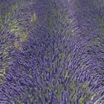 Lavandula sp. - Lavendel