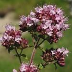 Origanum vulgare - Wilde Marjolein