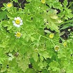 Tanacetum parthenium - Moederkruid
