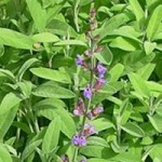 Salvia officinalis - Salie