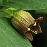 Atropa belladonna - Wolfskers
