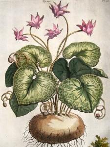 Cyclamen aleppicum - botanische prent van Abraham Munting