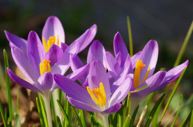 Bonte krokus en Boerenkrokus – Plant(en) van de maand